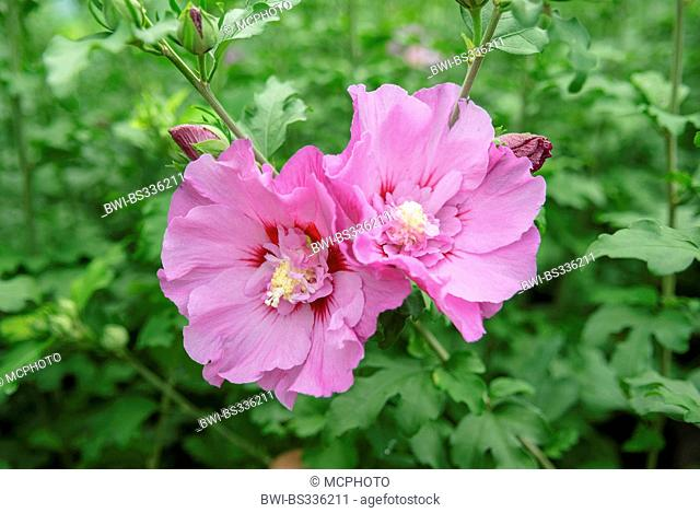 shrubby althaea, rose-of-Sharon (Hibiscus syriacus 'Eruption', Hibiscus syriacus Eruption), cultivar Eruption