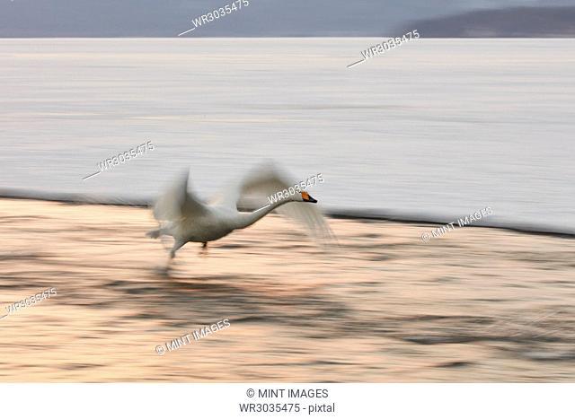 Whooper Swan, Cygnus cygnus, by shore of lake in winter