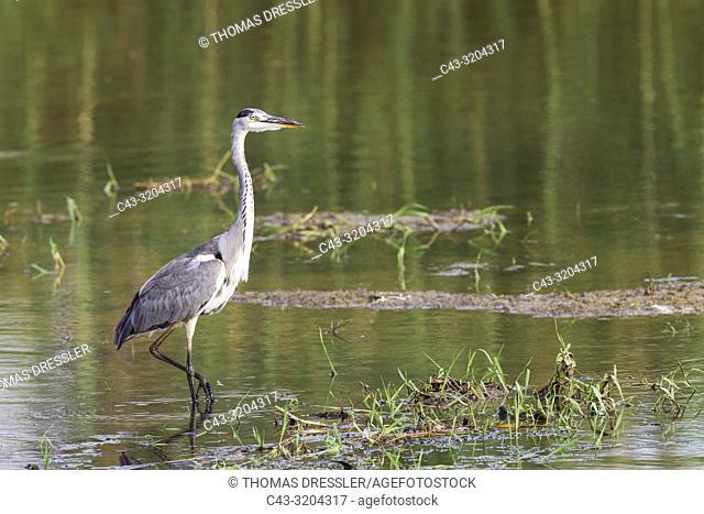 Grey Heron (Ardea cinerea). Hunting in a lagoon. Ebro Delta Nature Reserve, Tarragona province, Catalonia, Spain