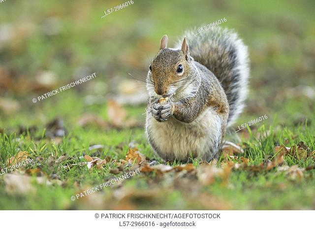 Grey squirrel, Richmond Park, England