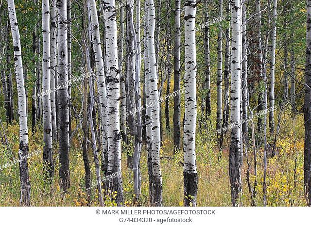 Aspen tree trunks in the Rocky Mountain West of the USA during fall