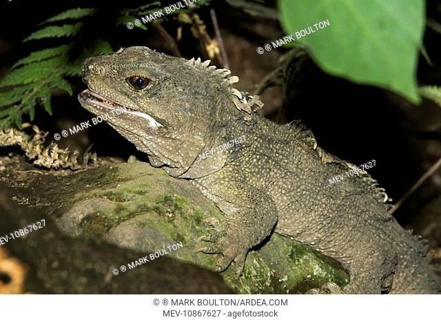 Tuatara lizard (Sphenodon punctatus). Rainbow Springs North Island New Zealand. Sphenodon is an ancient survivor from the Juassic period - the age of dinosaurs...