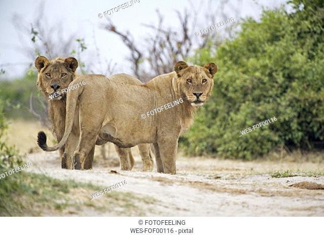 Africa, Botswana, two Lions