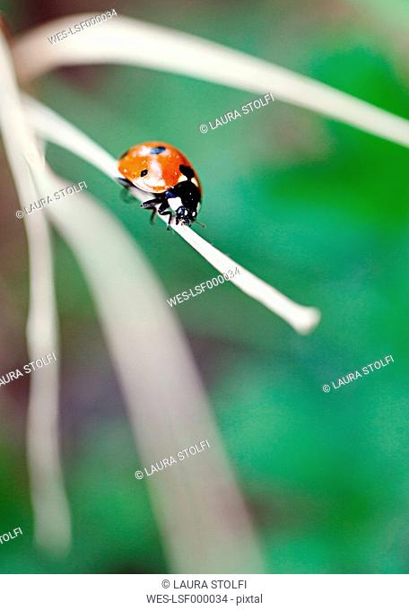 Ladybug perching on dry blade of grass