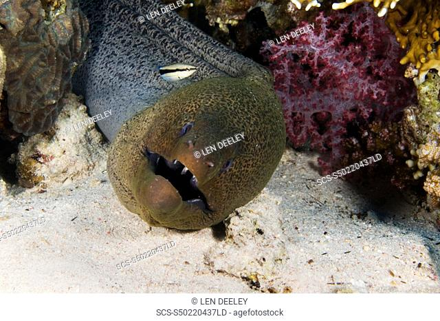 Giant Moray eel Gymnothorax javanicus with cleaner wrasse Labroides dimidiatus with corals and sand, Egyptian Red Sea, 29-6-07