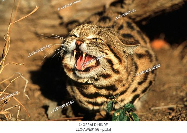 Close-up of a Small-spotted Cat Felis nigripes Snarling  Kapama Private Reserve, Limpopo Province, South Africa