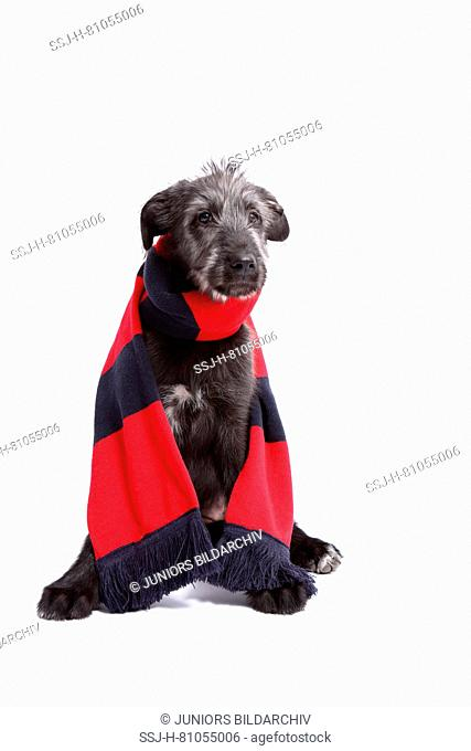 Irish Wolfhound. Puppy (9 weeks old) sitting, wearing red-and-black muffler. Studio picture against a white background. Germany