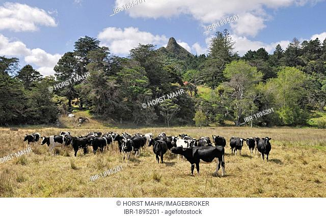 Cattle herd at Tokatoka Peak, Kaipara, Highway 12, North Island, New Zealand