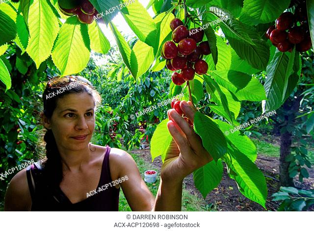 Woman picks cherries in orchard near Vernon in the Okanagan region of British Columbia, Canada - MR1