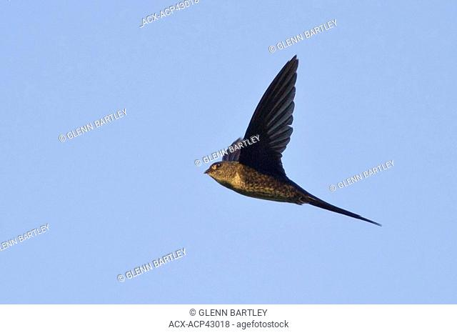 Neotropical Palm-Swift Tachornis squamata flying in Ecuador