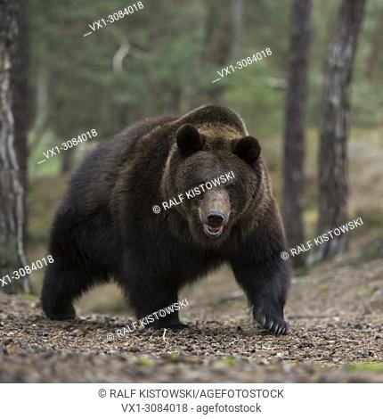 Eurasian Brown Bear ( Ursus arctos ) walking up, coming up a hill in a forest, dangerous encounter, Europe