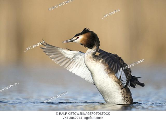 Great Crested Grebe (Podiceps cristatus), adult, rearing high up out of the water beating with its wings, wildlife, Germany, Europe