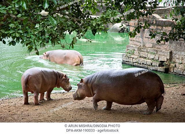 Hippopotamus Nandankanan Zoological Park Bhubaneswar odisha India Asia
