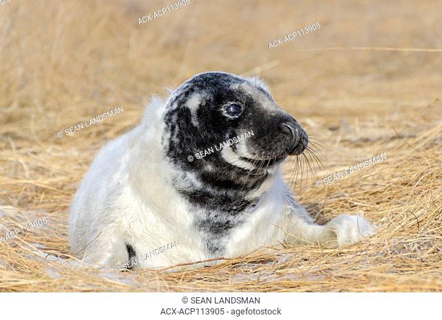 Grey seal, Halichoerus grypus, pup, Murray Harbour North, Prince Edward Island, Canada
