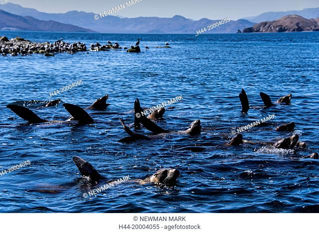 California sea lion group, Baja, Mexico