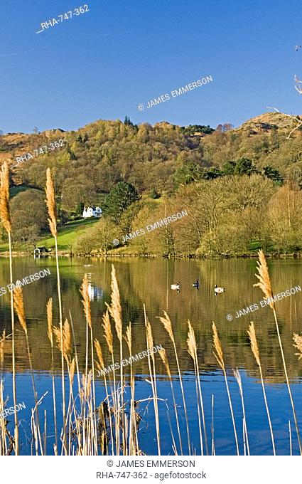 View through reeds, with wild ducks, across Lake Grasmere, Lake District National Park, Cumbria, England, United Kingdom, Europe