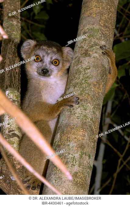 Crowned lemur (Eulemur coronatus), juvenile, male, in the dry forest of Ankarana, Northwestern Madagascar, Madagascar