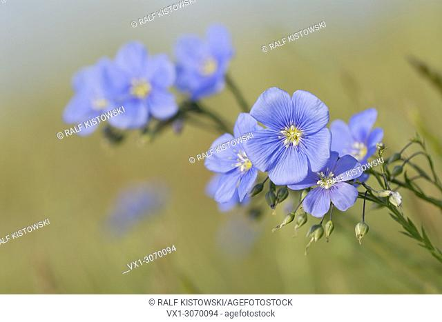 Inflorescence / Blossoms of Austrian Flax (Linum austriacum), blue blooming flowers, Austria