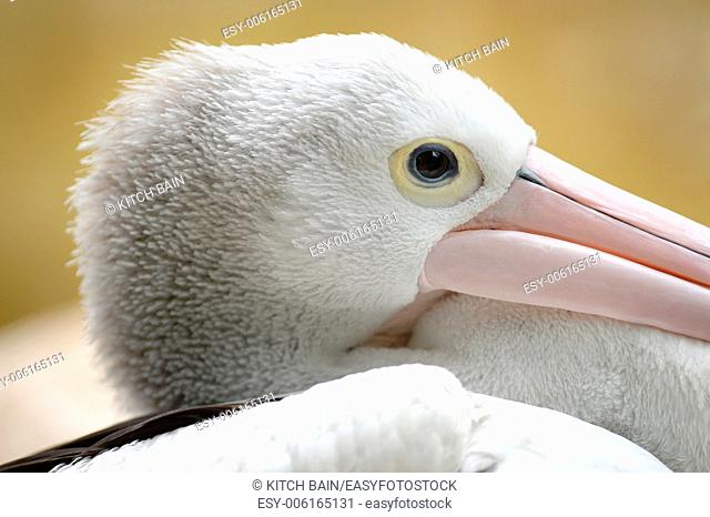 A close up shot of a Pelican