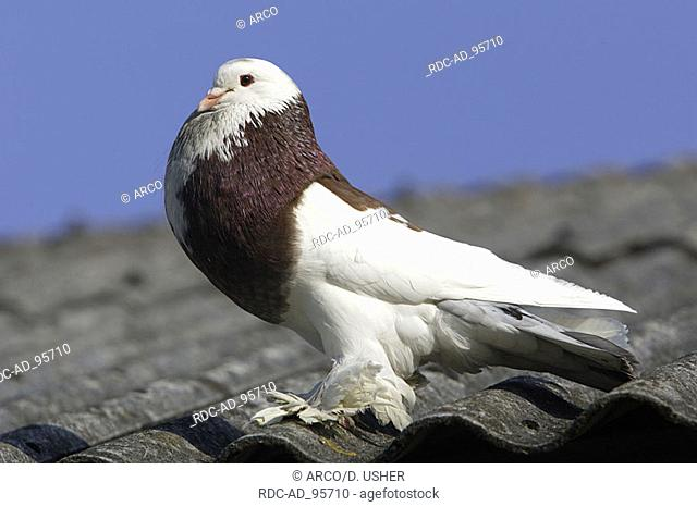 Pouter Pigeon male