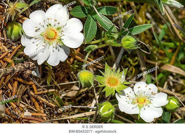 White Cinquefoil (Potentilla alba), blooming, Germany, Bavaria, Oberbayern, Upper Bavaria