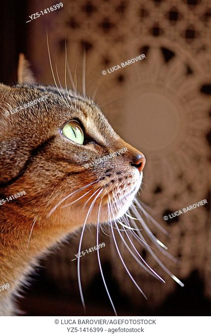 The wait - Tabby cat is waiting for