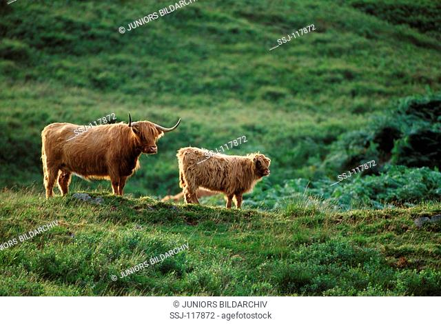 Highland Cattle with calf - standing on meadow