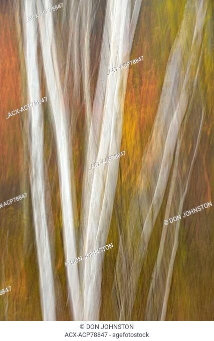 Multi-stem white birch tree trunks and autumn maple foliage, Greater Sudbury, Ontario, Canada
