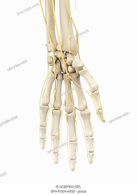 Human bones and nerves of the hand, computer artwork