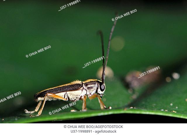 Long horned beetle. Image taken at Kampung Skudup, Sarawak, Malaysia