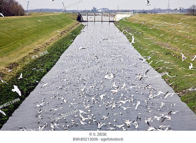 black-headed gull (Larus ridibundus, Chroicocephalus ridibundus), many gulls in the Emscher river near the estuary in the Rhine, Germany, North Rhine-Westphalia