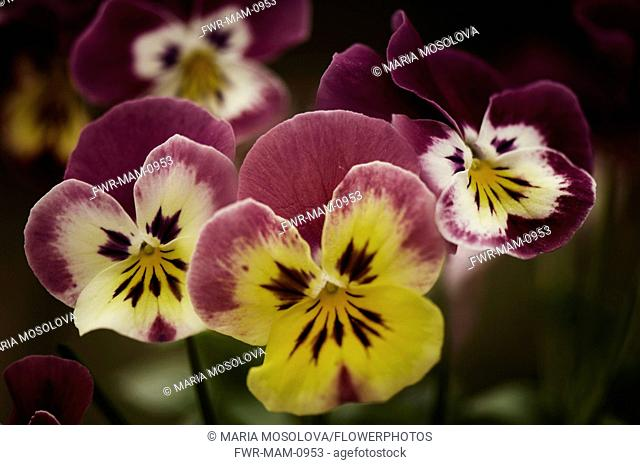 Pansy, Viola x wittrockiana. Several flowers with petal colours of yellow and cream extending to purple edges and outer petals