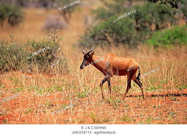 Tsessebe, (Damaliscus lunatus), adult, Tswalu Game Reserve, Kalahari, Northern Cape, South Africa, Africa