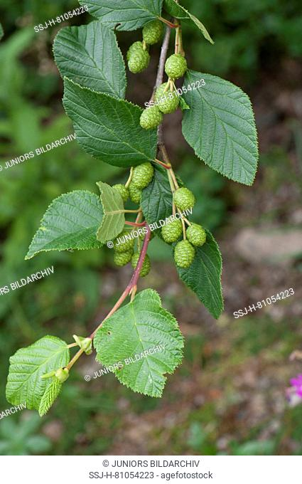 Green Alder (Alnus viridis), twig with leaves and green fruit. Sale in German-speaking countries only