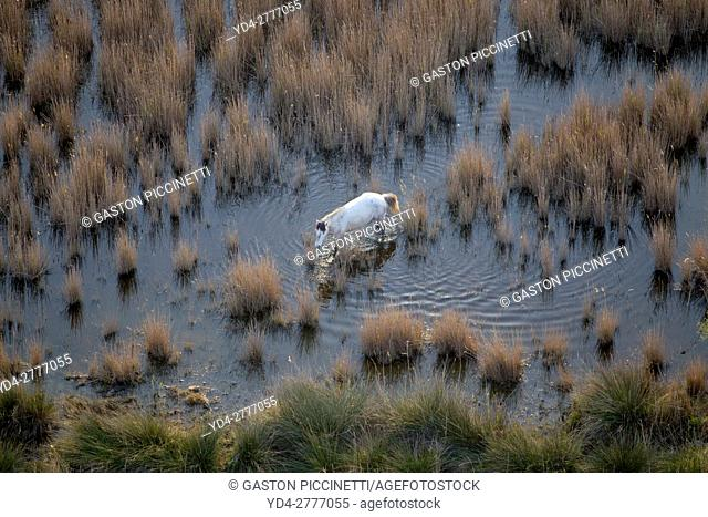 Aerial view picture. Horse in the Albufera Natural Park, Alcudia, Mallorca, Balearic Island, Spain