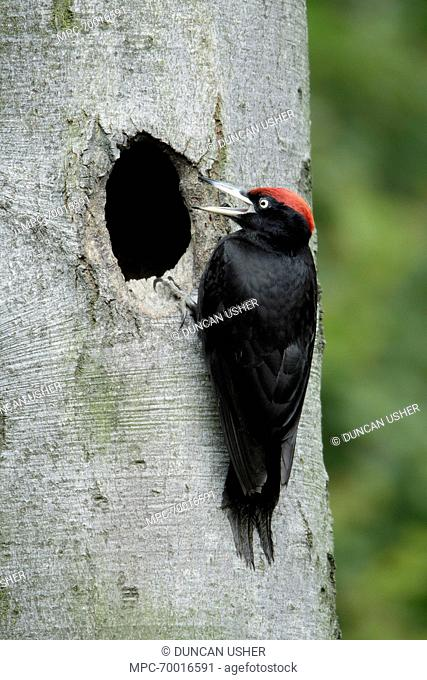 Black Woodpecker (Dryocopus martius) male at nest entrance calling for chicks, Lower Saxony, Germany