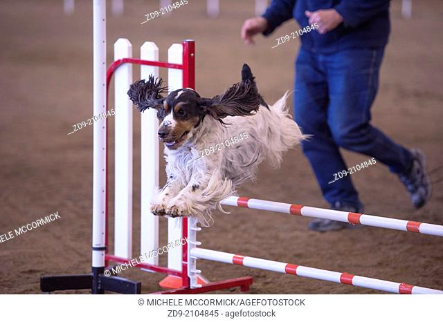 An English Cocker leaps over a hurdle at an agility trial