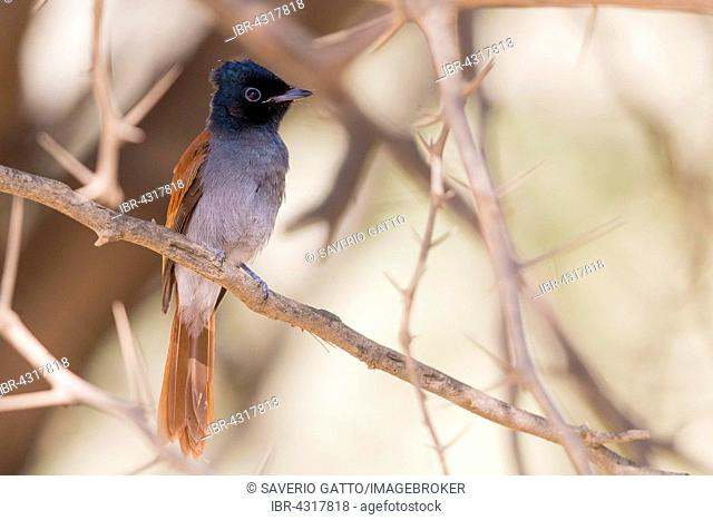 African Paradise Flycatcher (Terpsiphone viridis ssp harteti), adult perched on a branch, Ayn Hamran, Dhofar, Oman