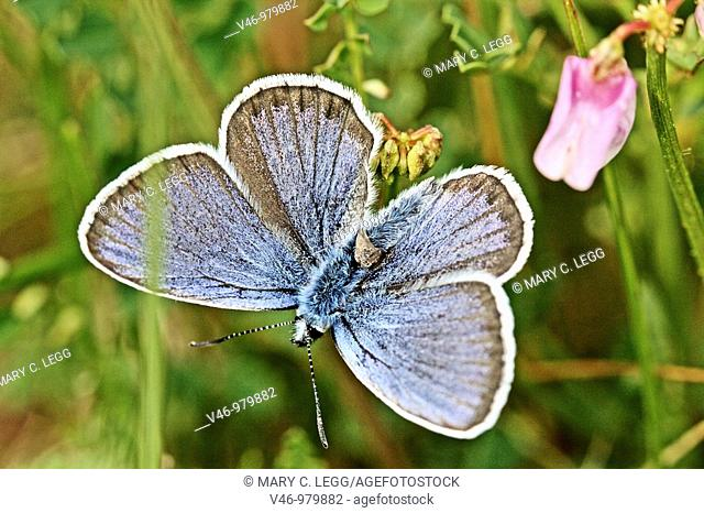 Silver-studded Blue  plebejus argus male  Upper wings, blue with boad dark band