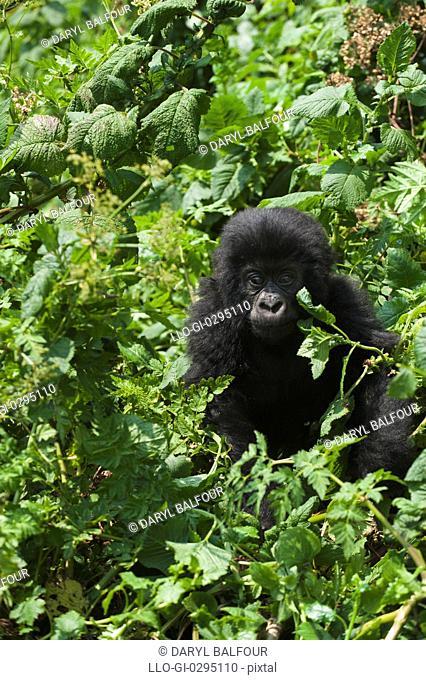 Mountain Gorilla Gorilla g. beringei, Parc National des Volcans Volcanoes National Park, Rwanda
