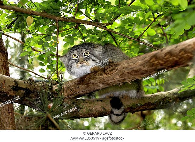 pallas cat/nManul Or Pallas'S Cat Otocolobus Manul, Adult Standing On Branch
