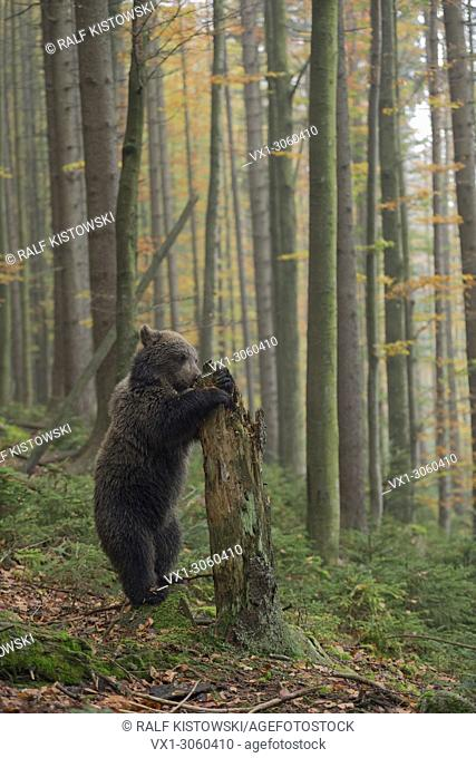 European Brown Bear (Ursus arctos), cute cup, stands on its hind legs, exploring a rotten tree trunk, searching for food, Germany, Europe