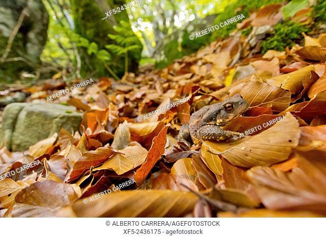 European Toad, Common Toad, Bufo bufo, Hayedo de la Pedrosa, Beech Forest, Riofrío de Riaza, Sierra de Ayllón, Segovia, Castilla y León, Spain, Europe