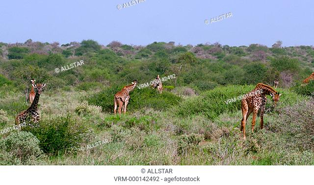 MASAI GIRAFFES GRAZING; AMBOSELI, KENYA, AFRICA; 02/02/2016