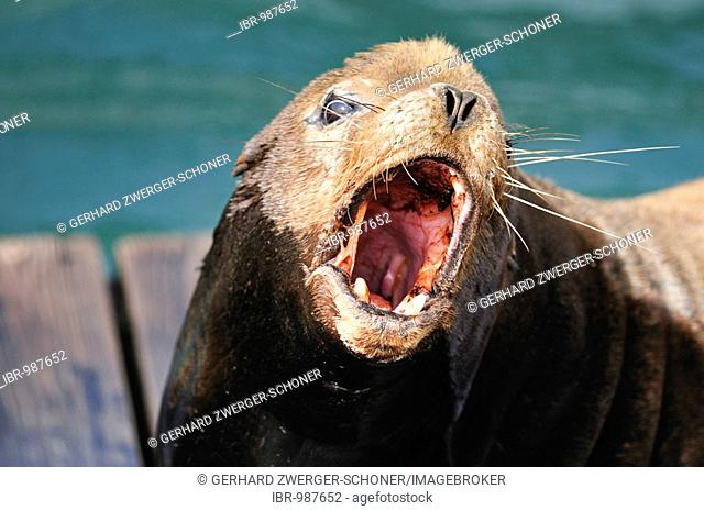 Steller or Northern Sea Lion (Eumetopias jubatus) on a wooden pallet calling, Oregon, USA