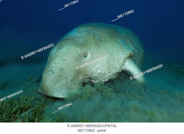 Dugong or Sea Cow (Dugong dugon) eating sea grass. Red Sea, Hermes Bay, Marsa Alam, Egypt, Africa