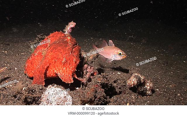 Red Giant frogfish Antennarius commersoni trying to catch cardinal fish, at night, Lembeh Strait, Sulawesi, Indonesia