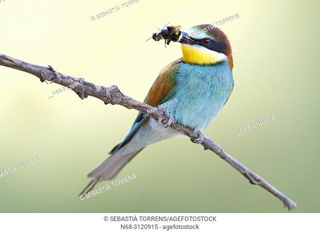 European bee-eater (Merops apiaster) with prey, Santa Margalida, Majorca, Balearic Islands, Spain