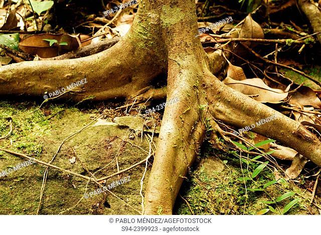 Root in Kubah national park, Sarawak, Malaysia, Borneo