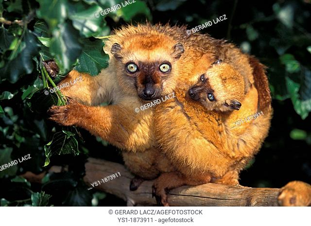 Black Lemur, eulemur macaco, Mother with Young standing on Branch